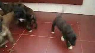 Anazil afghan puppies playing 4 weeks old