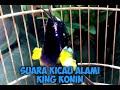 Suara Alami King Konin  Mp3 - Mp4 Download