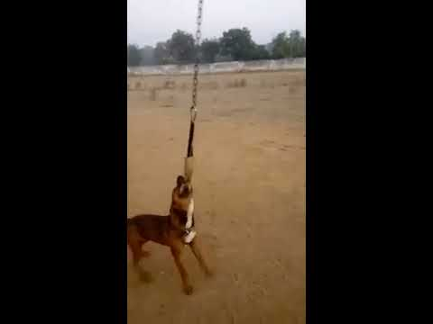 POWER OF PITBULL || PITBULL DOGS || PITBULL GRIP || INDIAN Punjab de PITBULL dangerous grip