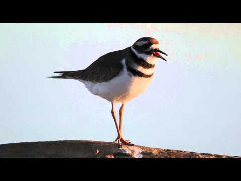 Killdeer Song