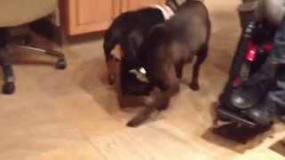 Lola - Shar-pei Rescue Of Virginia