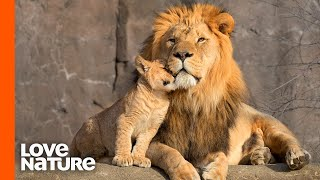 Lion Cubs Are Introduced To Their Father | Predator Perspective | Love Nature