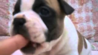 子犬のブリーダー直販支援サイト「子犬の窓口」 与那城ブリーダーのフレ...