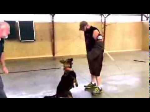 josie-control-work--plush-coated-red-sable-german-shepherd-female