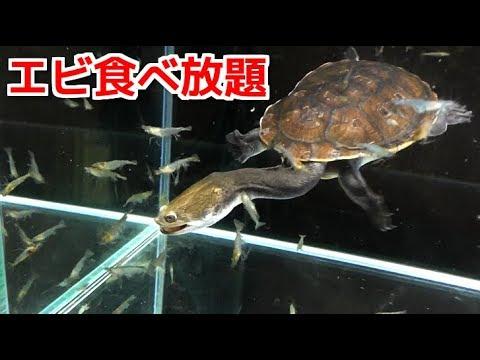 腹ペコの亀が大量のエビを食べまくる!