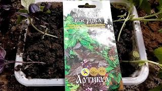 Высаживаем рассаду базилика Ароматы востока в теплицу с помидорами