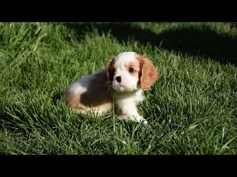 Sandy - Cavalier King Charles Spaniel  Puppy for sale