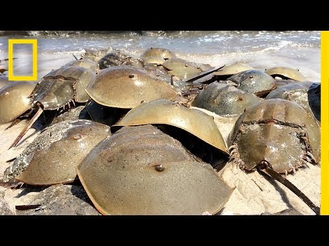 "Horseshoe Crabs Mate in Massive Beach ""Orgy"" 