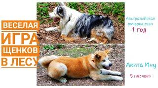 Веселая игра щенков в лесу. Акита Ину и Австралийская овчарка (Осси, Аусси) гоняют по лесу.