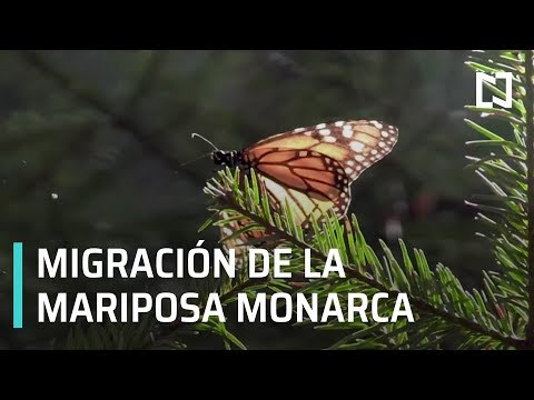 Mariposa monarca en México - Al Aire