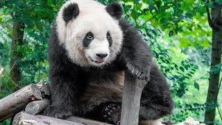 Ursii Panda in captivitate sau lux?