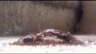 فيديو مذهل  ماذا يحدث عندما يتجمع النمل على برص ميت !! تصوير سريع رائع