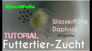Lebendfutterzucht: Wasserflöhe ( Daphnia )