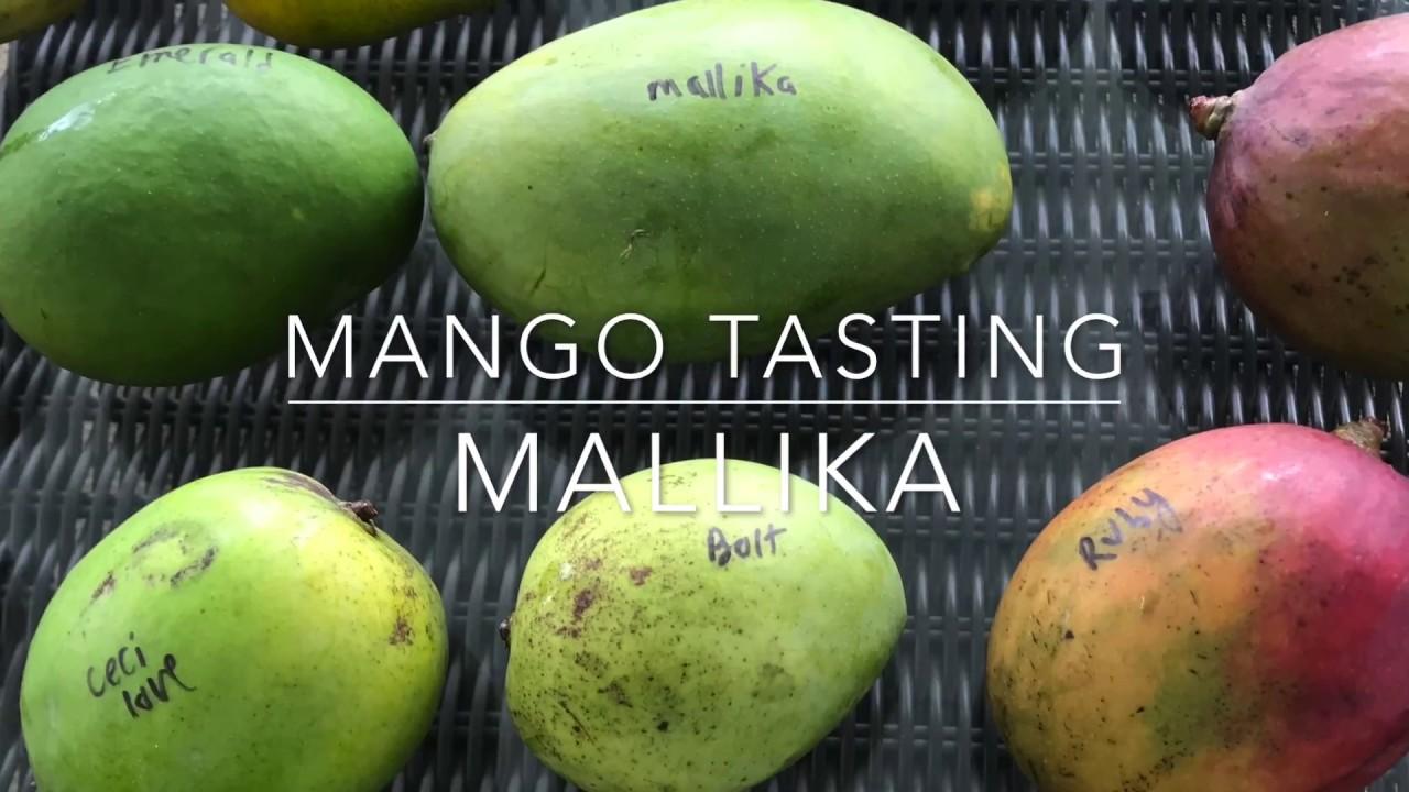 Florida Mango Tasting Mallika Mangos Youtube