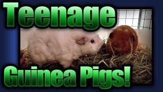 Teenage Guinea Pigs