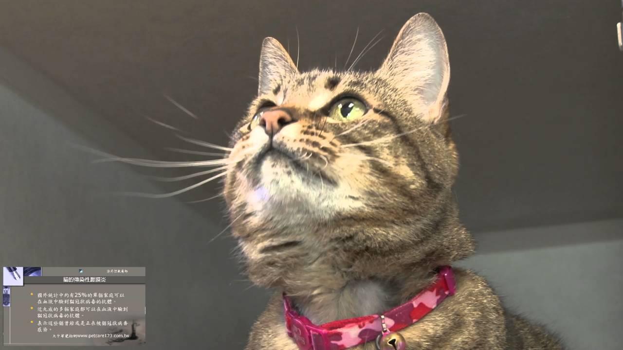 貓的傳染性腹膜炎的病因(一)- 到底是誰殺死了你的貓 - YouTube
