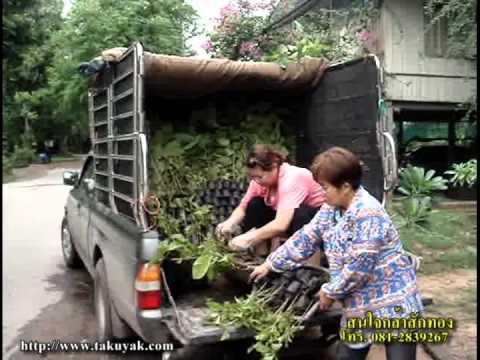 ยางนา-สักทอง ส่งที่อุดร-หนองคาย.ปฏิบัติการคืนผืนป่าสู่แผ่นดินไทย