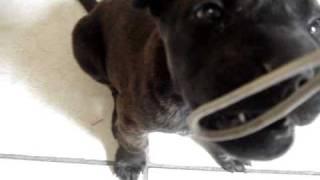 Issa Lissa Pit Bull/shar Pei Mix Puppy