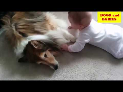 Sheltie Dog and Baby videos compilation 2017 - DOGS AND BABIES