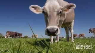 Vaches laitières Brune des Alpes en pâture sur prairie temporaire