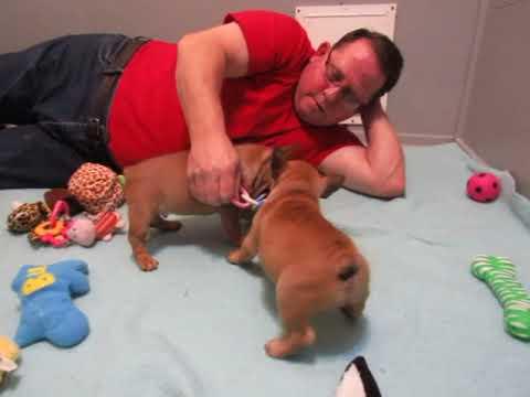 Adi Pups ~ French Bulldog Puppies ~ Oregon French Bulldog Breeders