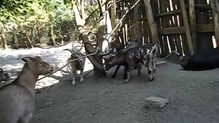 Вкус молока камерунских коз что с ним делать почему горькое молоко и с запахом