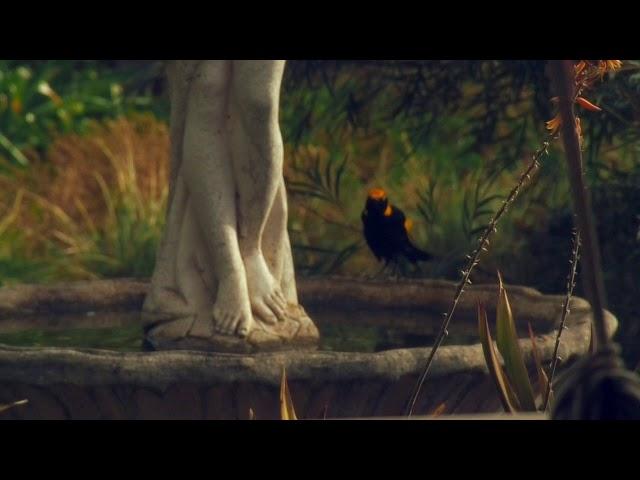Regent bowerbird in my bird bath