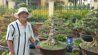 SH.599. Báo giá 180 triệu cây Mai Chiếu Thủy tại triển lãm Phúc thọ.
