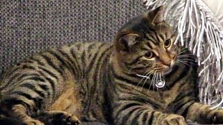 Cutest Tabby Cat Playing. Homemade Cat Toy.