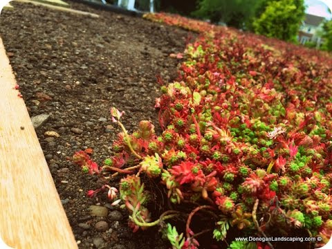 Sedum Green Roof Youtube