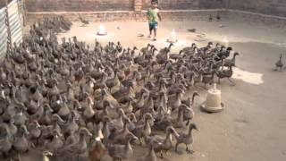 Duck farm lucknow 9235662893