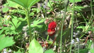 Delicious Wild Strawberries Growing In Canada