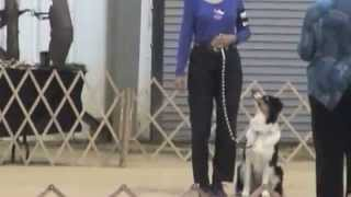 Scusi At Asca Nationals, Rally, Obedience, Agility