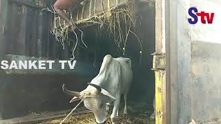Odisha : Locals steal cattle after truck carrying animals meets with accident   Sanket Tv