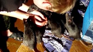 Крысы ласкаются