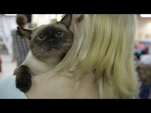 Клички для кошек девочек шотландцев вислоухих в