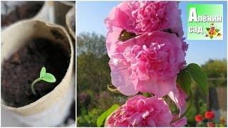 видео Многолетние астры : Садовые цветы : Статьи : Фазенда