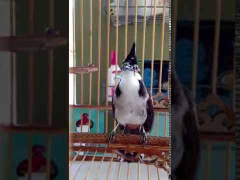 นกกรงหัวจุก เพชร นกด่าง