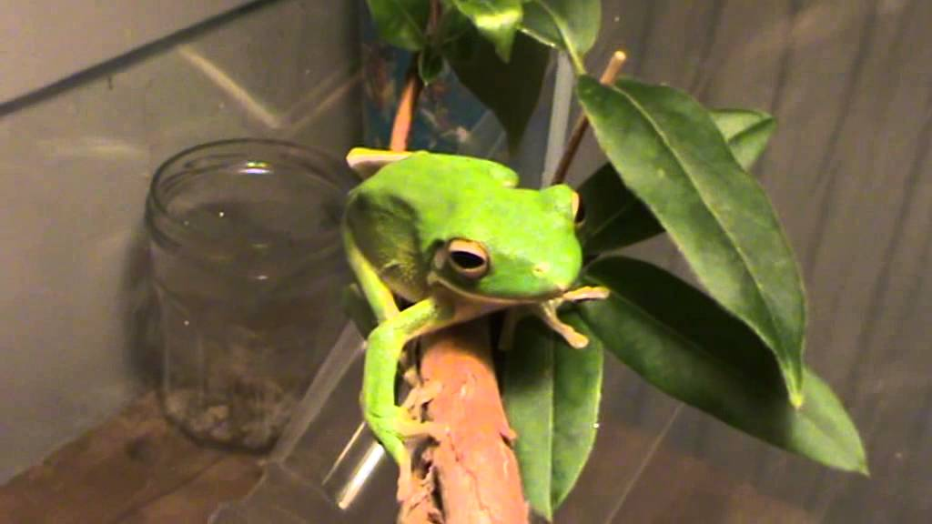 what does a cricket frog eat