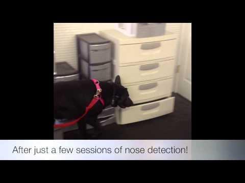 German Shepherd Session 3: Nose Detection Northern Virginia