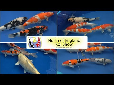 A selection of Koi from the 2019 North of England Koi Show