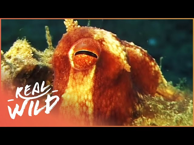 Meet The Fish That Build Their Own Homes!   Undersea Homes   Real Wild Channel