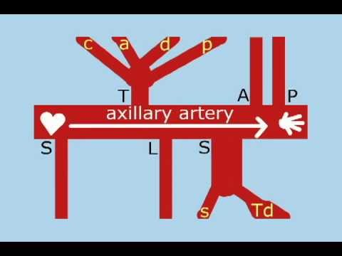 Axillary Artery Branches: Anatomy Mnemonic (Dirty): Better than steak and potatoes!