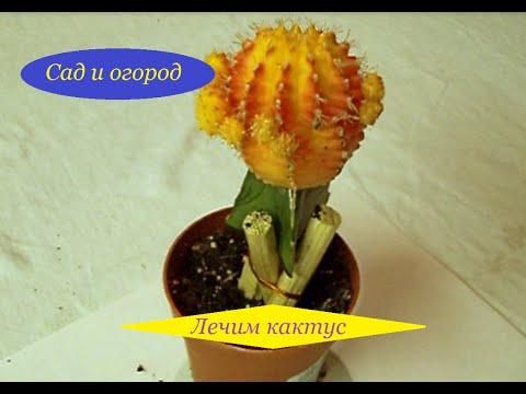 Лечим кактус.