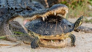 Alligator Attempting To Eat A Turtle thumbnail