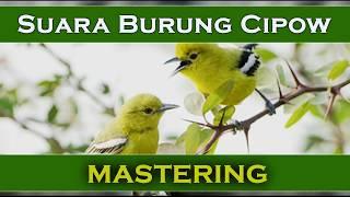 Gambar cover Masteran MP3 Burung Cipow Sirtu Gacor Bagus Untuk Pancingan