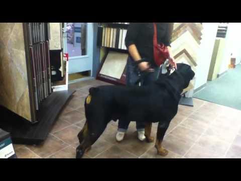 Big dog 'Blondie' the 195 lb Rottweiler