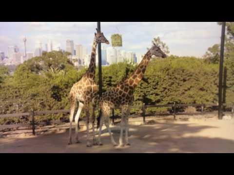 Ready, Steady, Wiggle - The Giraffe