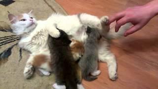 Котята рыже-белый, серо-белый и рябый