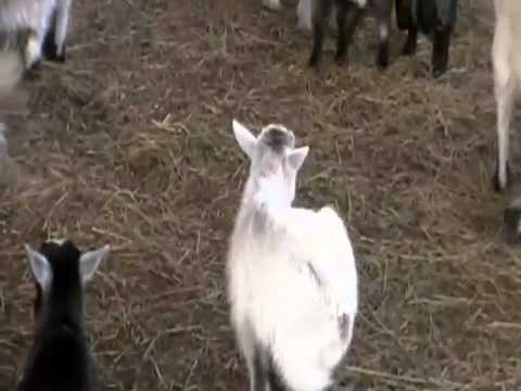 Baby Pygmy Goats For Sale Craigslist Fort Smith Arkansas ...